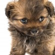 Puppy isolated  — Stock Photo #41834767