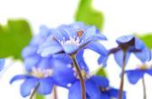 Hepatica nobilis — Stockfoto