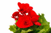 Red begonia  — Stock Photo