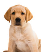 Labrador puppy isolated  — Stock Photo