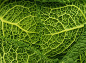 Fresh savoy cabbage leaf as a texture — Stock Photo