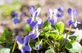 Violet flowers growing  — Stock Photo