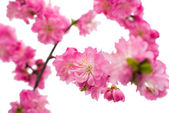 Spring cherry tree blossoms  — Stock Photo