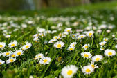 Spring meadow with flowers and green grass — Stock Photo