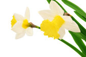 Daffodil isolated  — Stock Photo