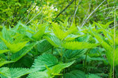 Nettles growing  — Stock Photo