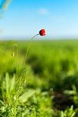 Red wild poppy — Stock Photo