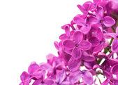 Lilac close up — Stock Photo