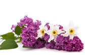 Lilac and daffodils — Stock Photo
