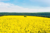 Field with flowering rapeseed — Stock Photo