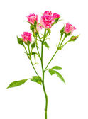 Little pink rose — Stock Photo