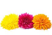 Colored chrysanthemums — Stock Photo