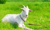 Goat grazing — Stock Photo