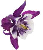 Aquilegia flower — Stock Photo