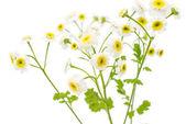 Małe, białe kwiaty — Zdjęcie stockowe