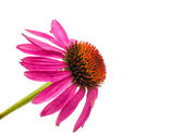 Echinacea flower — Stock Photo
