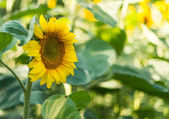 Sunflowers in the field — Stock Photo