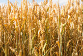 Wheat ears on the field — Stock Photo