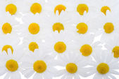 Group of Chamomile flower heads — Stock Photo