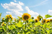 Sunflowers growing — Stock Photo