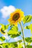 Sunflower growing — Stock Photo