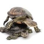 Two Turtles — Stock Photo