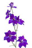 Field lilac flowers — Stock Photo