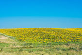 Sunflowers growing  — Stock Photo