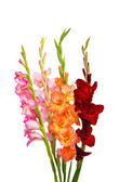 Gladiolus flowers — Stock Photo