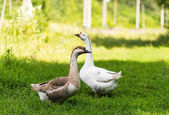 Geese grazing — Stock Photo