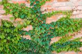 Ivy growing  — Stock Photo