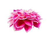 Pink dahlia — Stock Photo