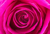 Beautiful pink rose — Stock Photo