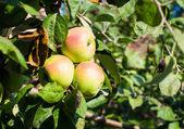 生育するリンゴ — ストック写真