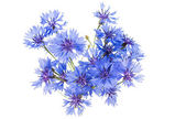 Knapweed flowers — Stock Photo