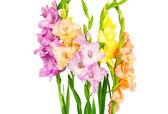 Gladiolus flowers — Stock Photo