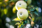 Apple growing  — Stock Photo