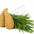 Branch with pine cone — Stockfoto #8014590