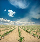 Field of corn sprouts over blue sky — Stock Photo
