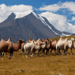 Herd camels against mountain. Altay mountains. Mongolia — Stock Photo #23945295