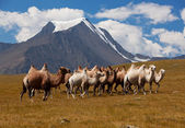 Herd camels against mountain. Altay mountains. Mongolia — Stock Photo
