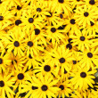 Stock Photo: Rudbeckia