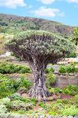 Dragon tree — Stock Photo
