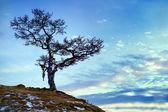 Tree on Lake Baikal — Stock Photo