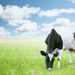 Cows in green field — Stock Photo #41217547