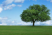 One tree in  field — Stockfoto