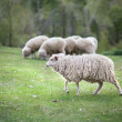 Stock Photo: Sheep graze in meadow