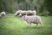Sheep graze in the meadow  — Stock Photo