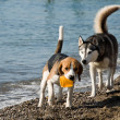 Dogs playing on beach — Stock Photo