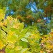 Yellow autumn leaves — Stock Photo #30933831